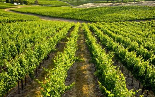 Thompson okanagan British Columbia vinyard